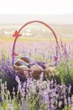 Basket with sweet-stuff in purple lavender flowers. Beautiful basket with purple ribbon and butterfly and sweet-stuff in meadow of lavender flowers Stock Photos