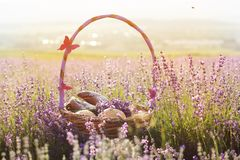 Basket with sweet-stuff in purple lavender flowers. Beautiful basket with purple ribbon and butterfly and sweet-stuff in meadow of lavender flowers Royalty Free Stock Photography