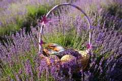 Basket with sweet-stuff in purple lavender flowers. Beautiful basket with purple ribbon and sweet-stuff in meadow of lavender flowers Stock Image