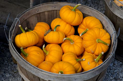 Basket of tiny pumpkins Royalty Free Stock Photo