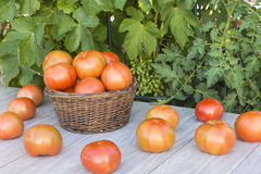 Basket with tomatoes. Fresh tomatoes in the field Stock Images