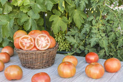 Basket with tomatoes. Fresh tomatoes in the field Stock Photography