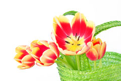 Red Tulips in Green Basket Stock Photography