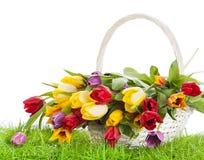Basket of  Tulips isolated on white Stock Photo