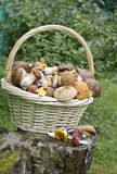 Basket with variety of raw mushrooms on old stump. Basket full of variety of raw mushrooms on old stump stock images