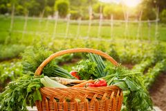 Basket with vegetable.Full basket with vegetable. Basket with vegetable.Full basket with organic vegetable Stock Photos