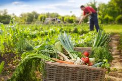 Basket with vegetable and gardener in background. Basket with organic vegetable and gardener working in background Royalty Free Stock Photography