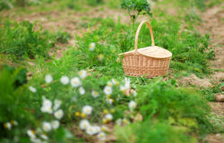 Basket on a vegetable patch Royalty Free Stock Images
