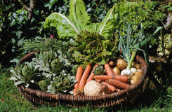 Basket of vegetables. Harvested in the garden Stock Image