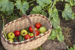 Basket of vegetables in the garden. Nature. Royalty Free Stock Images