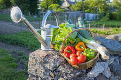 Basket of vegetables placed on a wall, garden in background Stock Images