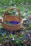 Basket with violets in the forest stock images