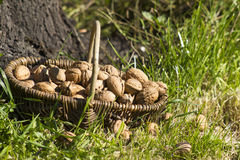 Basket with walnuts Stock Images
