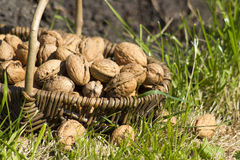 Basket with walnuts Royalty Free Stock Photos