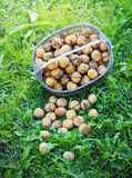 Basket with walnuts on the earth Royalty Free Stock Image
