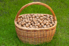 Basket of walnuts. Many walnuts in a large basket on the green grass Royalty Free Stock Photo