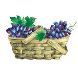 Basket wattled of veneer with fresh bunches of black grapes. Royalty Free Stock Photos
