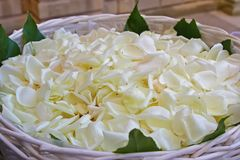 Basket with white rose petals stock images