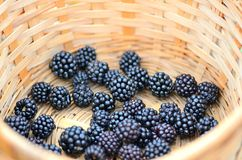 Basket of wild blackberries Royalty Free Stock Photography
