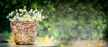 Basket with wild daisies over green nature background, side view, banner. Gardening concept stock photography