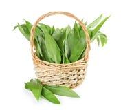 Basket with wild garlic leaves Royalty Free Stock Image