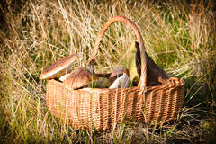 Basket with wild mushrooms royalty free stock image