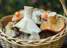 Basket of wild mushrooms Royalty Free Stock Photography