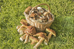 Basket wild mushrooms. Basket of fresh mushrooms perfect food for a vegetarian Stock Photography