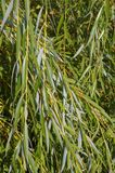 Basket willow. Foliage of basket willow close-up royalty free stock photos