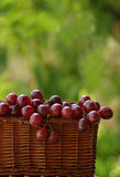 Basket of wine grapes. Basket full of wine grapes royalty free stock photography