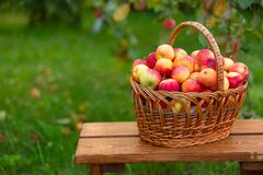 Free Basket With Apples Stands On Wooden Bench Against Background Of Grass. Harvesting In Apple Orchard. Side View Stock Image - 198129961