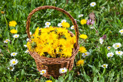 Basket With Spring Dandelion Flowers Royalty Free Stock Images