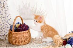 Basket of wool. Six weeks old kitten being naughty with knitting wool Royalty Free Stock Image