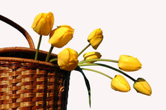 basket with yellow tulips  Royalty Free Stock Image