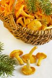 Basket with young chanterelle Stock Images