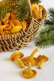Basket with young chanterelle Royalty Free Stock Photo