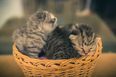 Basket with young kittens. Royalty Free Stock Images