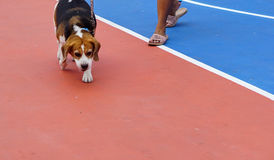 Basketball arena_3. Dog is walking on Basketball arena court Field sports flooring made of rubber Stock Photo