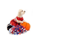 Basketball Silky Poo Royalty Free Stock Photos