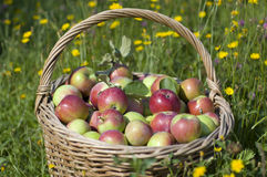 Basketful of apples Stock Images