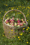 Basketful of apples Royalty Free Stock Image