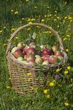 Basketful of apples Royalty Free Stock Image