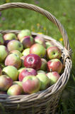 Basketful of apples Stock Photography