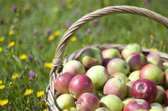 Basketful of apples Stock Image