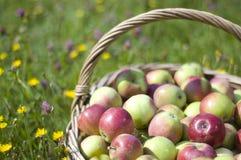 Basketful of apples Stock Image