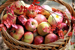 Basketful of apples. Basket full of ripe apples. From above is a twig with red leaves Royalty Free Stock Image