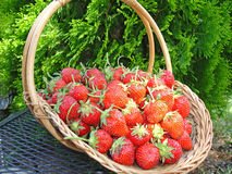 Basketful of Strawberries. Woven basket overflowing with just picked  sun-ripened strawberries.  Fresh, bright red strawberries with stems attached. Sitting on Royalty Free Stock Image