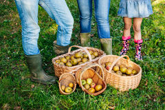 Baskets of apples on the grass and family legs behind Royalty Free Stock Image