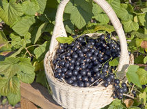 Baskets with black currant Royalty Free Stock Image