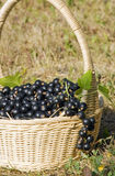 Baskets with black currant Stock Photography